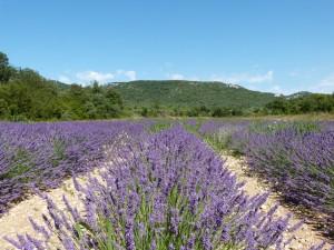La lavande en Ardèche